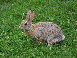 Indianapolis Rabbit Removal