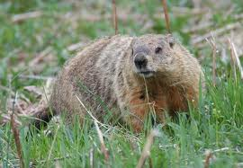 Indianapolis-ground-hog-removal
